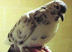 Houtduif (columba palumbus)